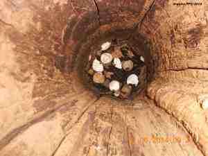 Dirty nest cavity, with eggshells and debris (Image: PPV Archive)