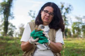 Gláucia with a Blue-fronted Amazon nestling (Image: Victor Moriyama)